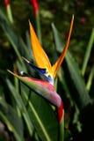 Uccello del fiore di paradiso Fotografie Stock