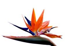 Uccello del fiore di paradiso con priorità bassa bianca immagini stock