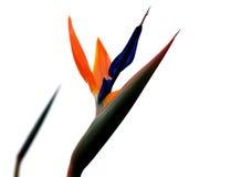 Uccello del fiore di paradiso con priorità bassa bianca fotografia stock libera da diritti