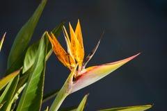 Uccello del fiore di paradiso, delle specie di Heliconia Fotografia Stock