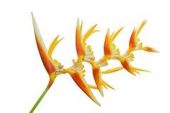 Uccello del fiore di paradiso isolato su bianco Immagine Stock