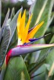 Uccello del fiore di paradiso, reginae di Strelitzia Fotografie Stock