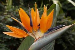 Uccello del fiore di paradiso, reginae di Strelitzia fotografia stock