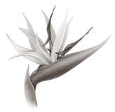Uccello del fiore di paradiso (seppia) Immagine Stock