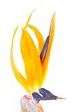 Uccello del fiore di paradiso, Strelitzia Fotografia Stock
