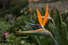 Uccello del fiore del paradiso Immagini Stock