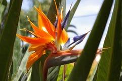 Uccello del fiore del paradiso Immagine Stock