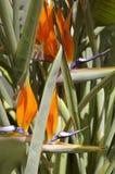 Uccello del fiore del paradiso Fotografie Stock