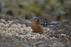 Uccello del fringuello fotografie stock