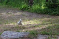 Uccello del gabbiano Immagini Stock
