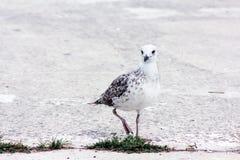 Uccello del gabbiano che sta sui suoi piedi ed attentamente che esamina la macchina fotografica Fotografie Stock