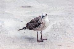 Uccello del gabbiano che sta sui suoi piedi ed attentamente che esamina la macchina fotografica Immagine Stock