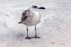 Uccello del gabbiano che sta sui suoi piedi ed attentamente che esamina la macchina fotografica Immagini Stock