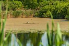 Uccello del gabbiano dell'erba della palude Fotografia Stock Libera da Diritti