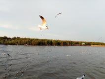 uccello del gabbiano di mare dal bangpoo Tailandia Immagine Stock