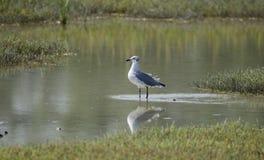 Uccello del gabbiano di risata nella palude d'acqua salata, riserva nazionale dell'isola di Pickney, U.S.A. Fotografie Stock
