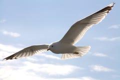 Uccello del gabbiano durante il volo Fotografia Stock