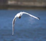 Uccello del gabbiano durante il volo Fotografia Stock Libera da Diritti