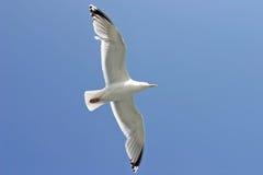 Uccello del gabbiano durante il volo Fotografie Stock