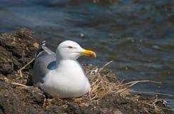 Uccello del gabbiano nel nido Fotografia Stock Libera da Diritti