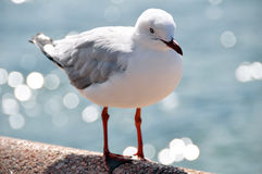 Uccello del gabbiano o del gabbiano alla spiaggia virile in Nuovo Galles del Sud nordico, Australia Fotografia Stock