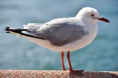 Uccello del gabbiano o del gabbiano alla spiaggia virile in Nuovo Galles del Sud nordico, Australia Fotografie Stock