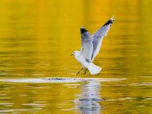 Uccello del gabbiano reale nordico quasi che pesca pesce Fotografia Stock Libera da Diritti