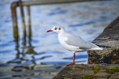 Uccello del gabbiano sul porto Fotografia Stock Libera da Diritti