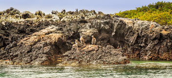 Uccello del Galapagos Fotografia Stock