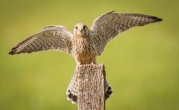 Uccello del gheppio sulla posta Immagini Stock Libere da Diritti