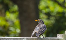 Uccello del giardino Fotografie Stock Libere da Diritti
