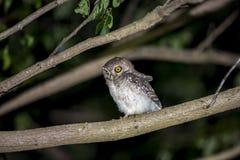 Uccello del gufo che si siede alla notte Fotografia Stock Libera da Diritti