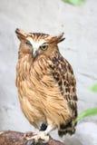 Uccello del gufo di Brown Immagini Stock