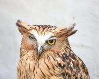Uccello del gufo di Brown Immagine Stock Libera da Diritti