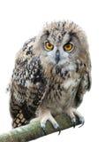 Uccello del gufo reale Immagini Stock Libere da Diritti