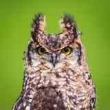 Uccello del gufo reale Fotografia Stock Libera da Diritti