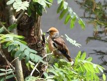 Uccello del Hawfinch nella foresta fotografia stock libera da diritti