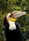 Uccello del Hornbill Immagine Stock Libera da Diritti