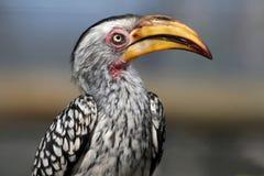Uccello del Hornbill Fotografie Stock Libere da Diritti