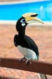 Uccello del hornbill di Palawan nella fine in su Immagine Stock Libera da Diritti