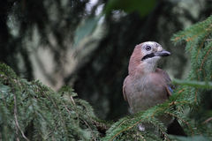 Uccello del Jay (glandarius del Garrulus) Fotografie Stock Libere da Diritti