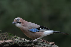 Uccello del Jay (glandarius del Garrulus) Fotografie Stock