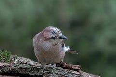 Uccello del Jay (glandarius del Garrulus) Fotografia Stock