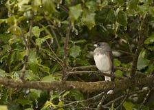 Uccello del Junco che si siede sul ramo di albero che affronta a sinistra Fotografia Stock