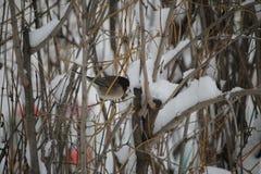 Uccello del Junco nei nuovi rami Immagine Stock