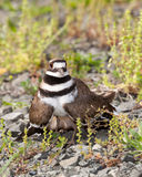 Uccello del Killdeer che difende il suo nido immagine stock libera da diritti