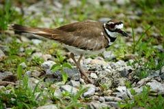 Uccello del Killdeer con le uova Fotografia Stock Libera da Diritti