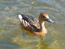 Uccello del lago Immagini Stock