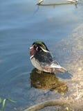 Uccello del lago Immagini Stock Libere da Diritti
