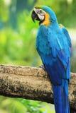 Uccello del Macaw [ararauna del Ara] Fotografia Stock Libera da Diritti